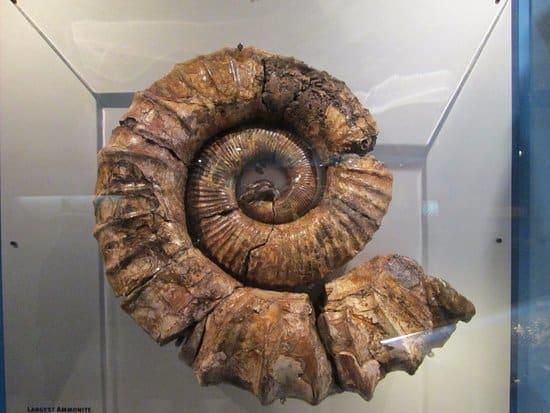 The largest Ammonite ever found in Australia ndash John Perez