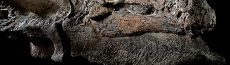 The best preserved nodosaur ever found